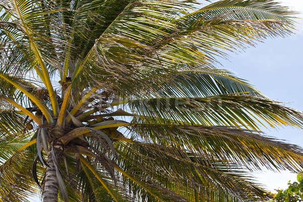 Trópusi kókuszpálma fa közelkép részlet választék Stock fotó © ArenaCreative