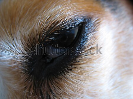Сток-фото: сонный · Beagle · глаза · макроса · собака