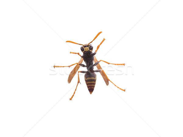Yalıtılmış arı genç beyaz vücut arka plan Stok fotoğraf © ArenaCreative