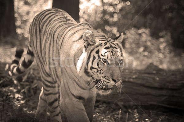 Tygrys okrutny naturalnych drzewo oka kot Zdjęcia stock © ArenaCreative
