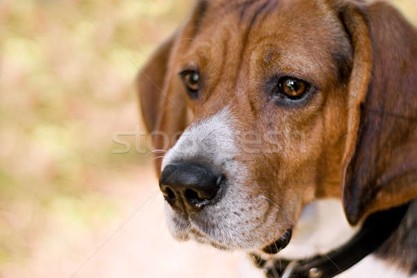 Attentive Beagle Dog Stock photo © ArenaCreative