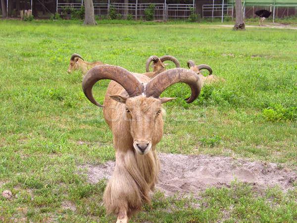 Groß Widder Berg Ziege Fuß Tier Stock foto © ArenaCreative