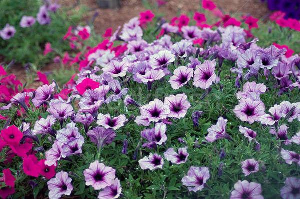Petunia Flowers Stock photo © ArenaCreative