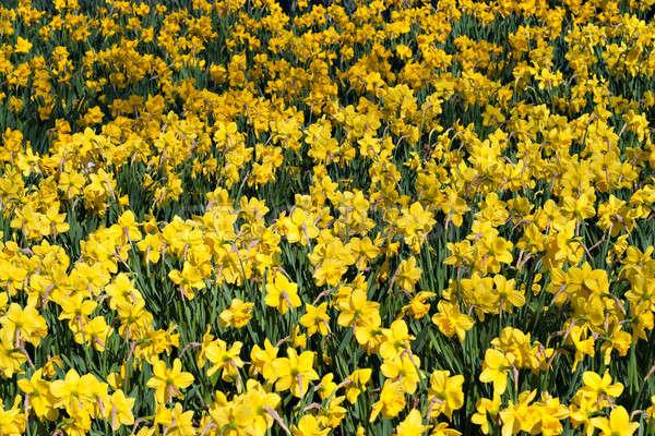 フィールド 水仙 明るい 黄色 春 スイセン ストックフォト © ArenaCreative