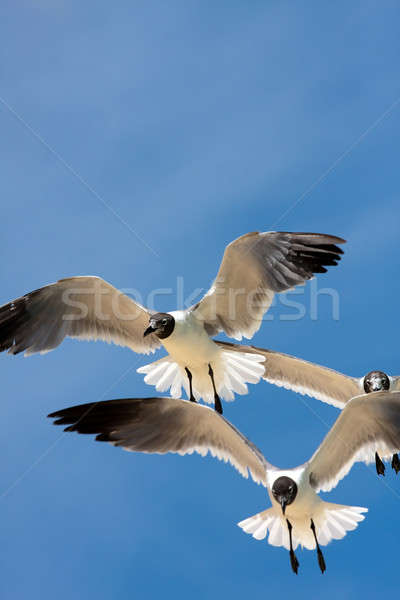 Seagulls Soaring Stock photo © ArenaCreative