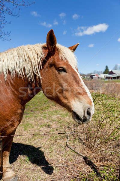 Brown Horse Close Up Stock photo © ArenaCreative