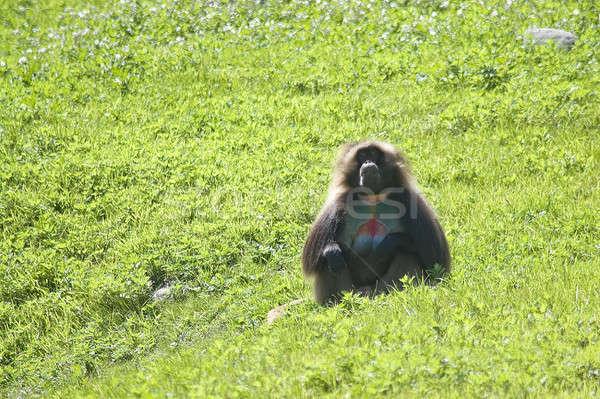 бабуин зеленый области дерево лице трава Сток-фото © ArenaCreative