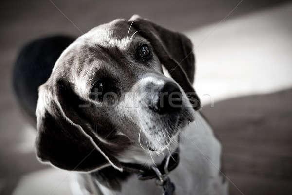 Dramatisch beagle hond portret naar kleur Stockfoto © ArenaCreative