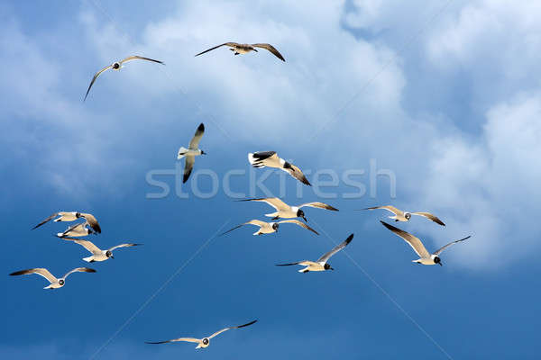 Flock of Seagulls Soaring Stock photo © ArenaCreative