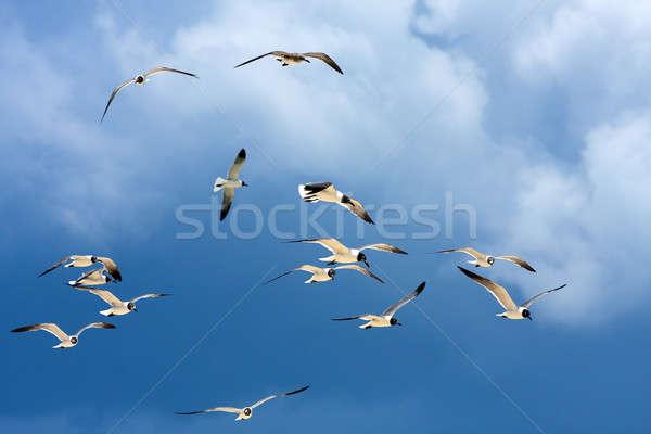 Flock of Seagulls Soaring Stock photo © ArenaCreative