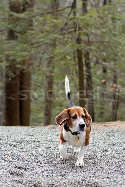 Beagle Hunting Dog Stock photo © ArenaCreative