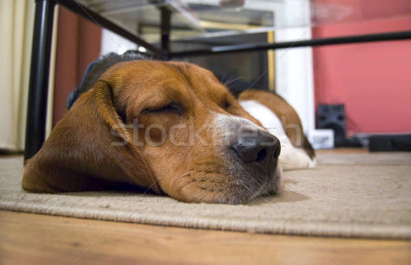 Sleepy Beagle Dog Stock photo © ArenaCreative