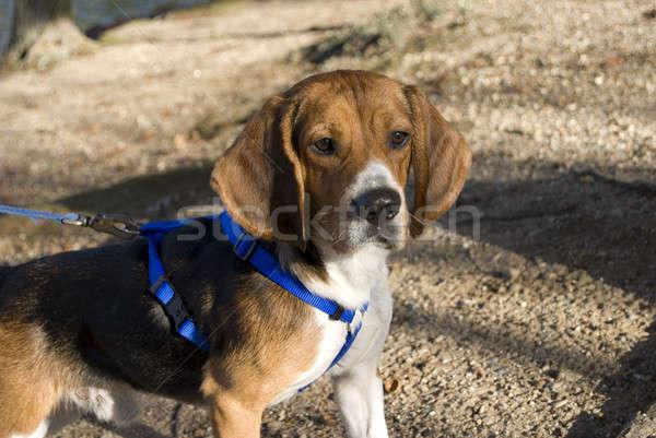 alert beagle Stock photo © ArenaCreative