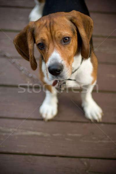Cute Beagle Pup Stock photo © ArenaCreative