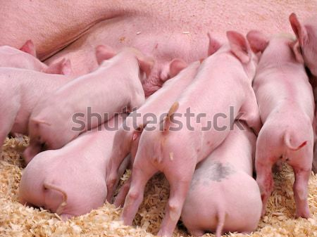 Hungry Piglets Stock photo © ArenaCreative