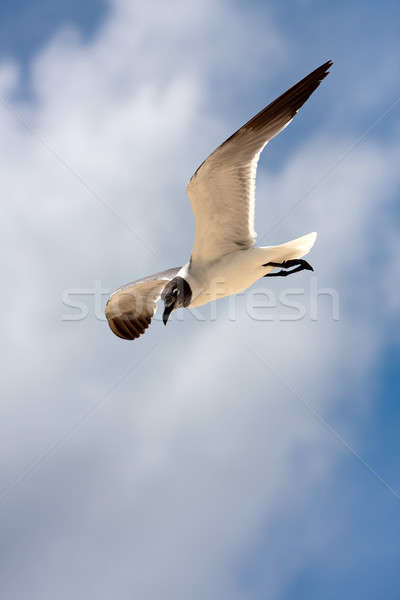 Seagull Soaring Stock photo © ArenaCreative