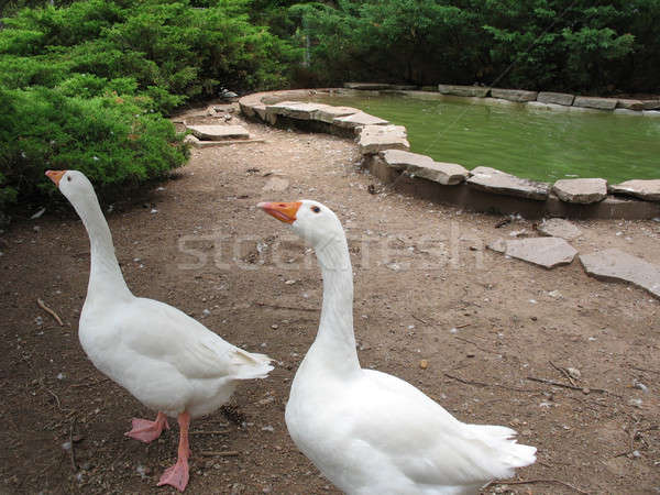 Silly Geese Stock photo © ArenaCreative