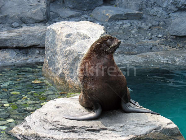 hairy sea lion Stock photo © ArenaCreative