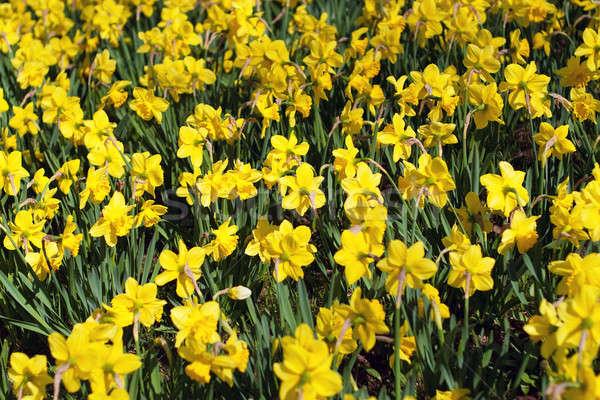 Amarelo primavera narcisos campo brilhante abrótea Foto stock © ArenaCreative