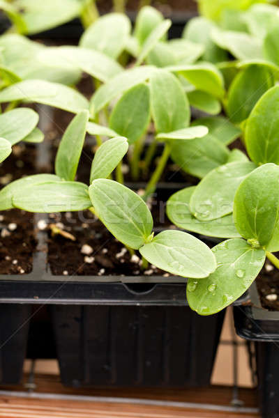 Cucumber Plant Seedlings Stock photo © arenacreative
