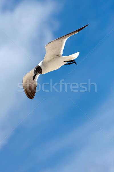 Caribbean Seagull Flying Stock photo © ArenaCreative