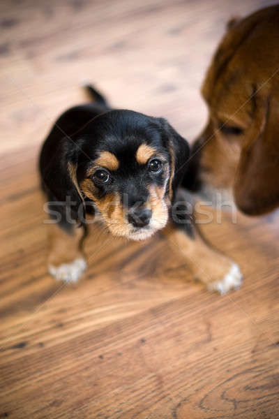 Stockfoto: Cute · puppy · aanbiddelijk · ander · beagle · hond