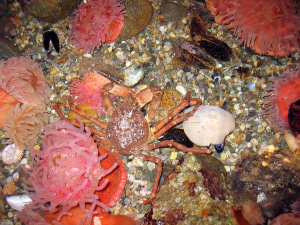 Krab onderwater oceaan vloer strand water Stockfoto © ArenaCreative
