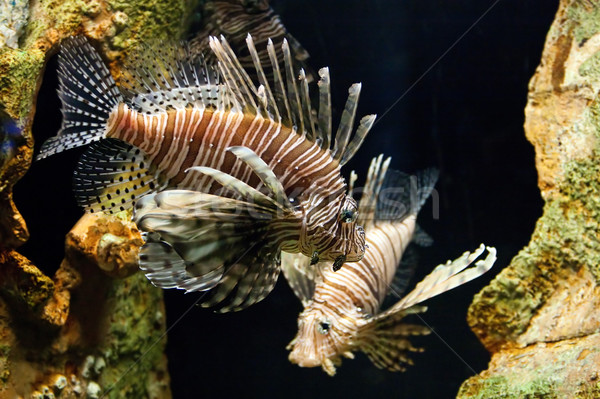 Lion Fish Stock photo © ArenaCreative
