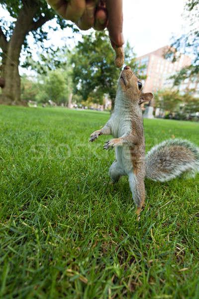 Feeding a squrrel Stock photo © ArenaCreative