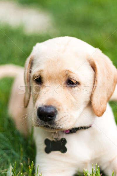 Adorável amarelo lab cachorro bonitinho Foto stock © arenacreative