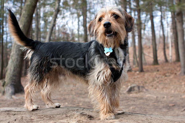 Perro bosques retrato jóvenes yorkshire terrier Foto stock © ArenaCreative