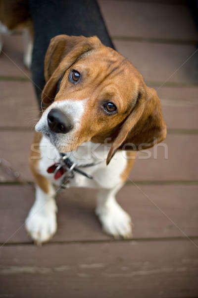 Curious Beagle Stock photo © ArenaCreative
