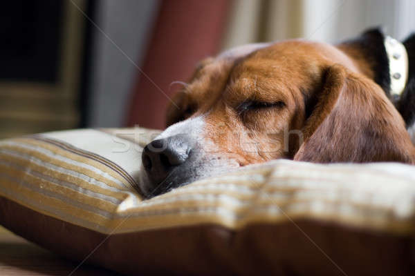 Beagle Dog Sleeping Stock photo © ArenaCreative