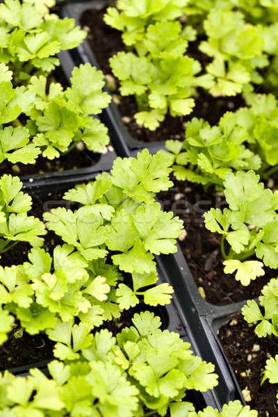 Selderij planten jonge fase ondiep Stockfoto © arenacreative