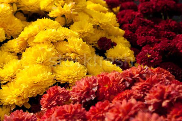 Colorful Chrysanthemum Flowers Stock photo © ArenaCreative