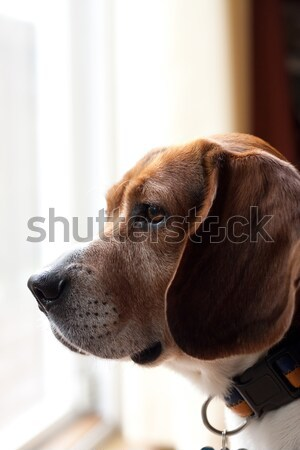 Alert Beagle Dog Stock photo © ArenaCreative