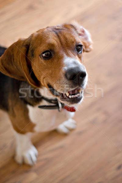 Tazı köpek sevimli bo sığ Stok fotoğraf © ArenaCreative