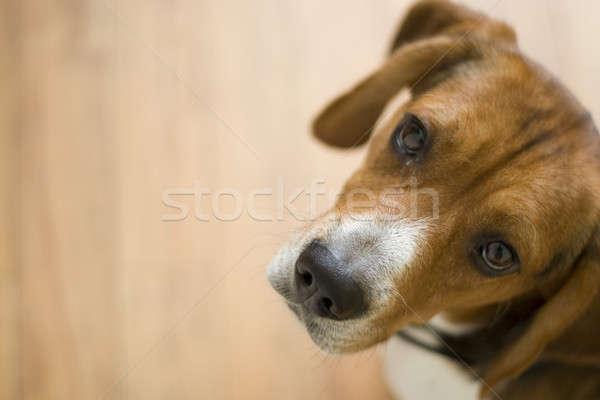 Cute Beagle Dog Stock photo © ArenaCreative