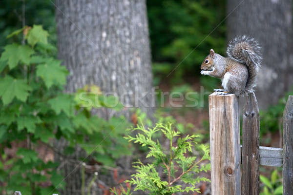 Grey Squirrel Stock photo © ArenaCreative