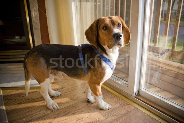 Beagle cucciolo ritratto giovani cucciolo occhi Foto d'archivio © ArenaCreative