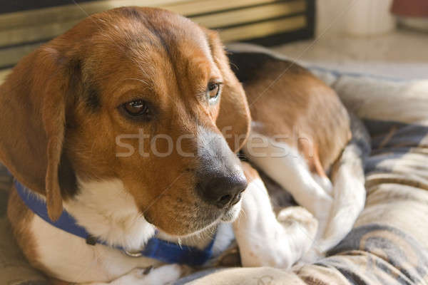 Beagle hond portret jonge puppy Stockfoto © ArenaCreative