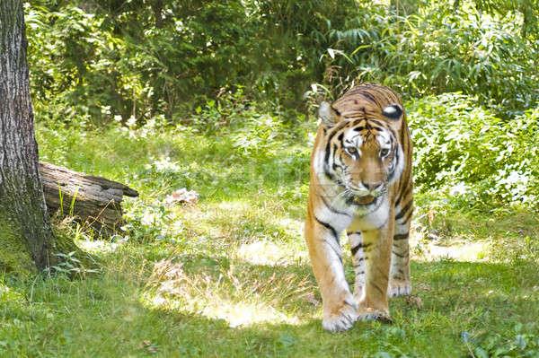 Tigris bősz természetes fa szem macska Stock fotó © ArenaCreative