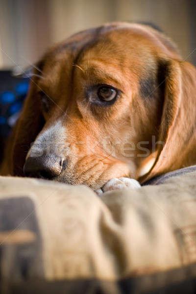 Somnolent Beagle yeux fond Photo stock © ArenaCreative
