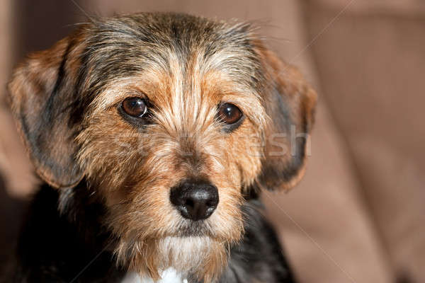 Cute Mixed Breed Pup Stock photo © ArenaCreative