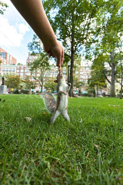 Esquilo amendoim público parque Foto stock © arenacreative