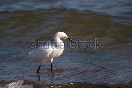 Snowy Egret Stock photo © ArenaCreative