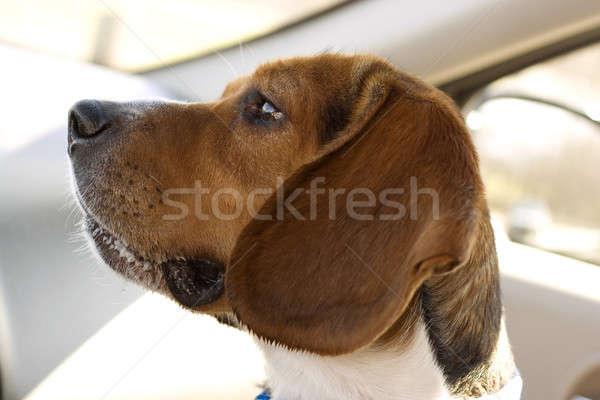 Bigle retrato jovem olhos fundo triste Foto stock © ArenaCreative