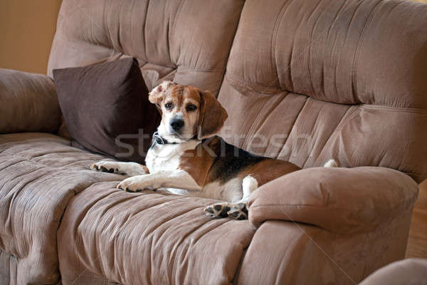 Beagle Dog on the Couch Stock photo © ArenaCreative