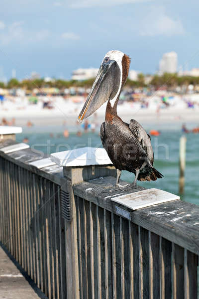 Clearwater Beach Florida Pelican Stock photo © ArenaCreative