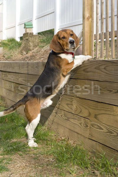 Beagle Pup Stock photo © ArenaCreative